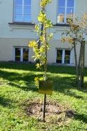 Uczniowie II LO i Dzień Drzewa _2